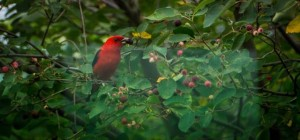 VWS - tanager - photo by Carol Stegeman