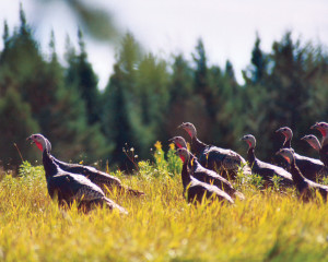 FIELD OF TURKEYS - Photo by Sara Placey