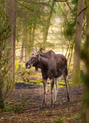 Moose portrait. Moose photographed in animal park