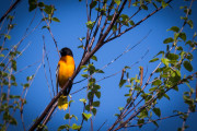Yellow bird on bush against sky background